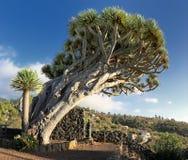 Árvore de dragão no La Palma, Ilhas Canárias imagem de stock