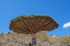 Árvore de Dragon Blood, Socotra, ilha, Oceano Índico, Iémen, Médio Oriente Imagens de Stock Royalty Free