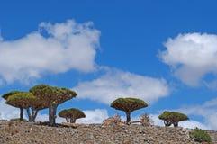 Árvore de Dragon Blood, Socotra, ilha, Oceano Índico, Iémen, Médio Oriente Fotografia de Stock Royalty Free
