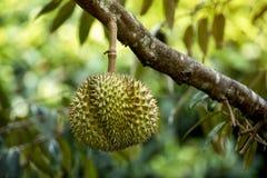 ?rvore de Durian do pa?s de Tail?ndia imagens de stock royalty free