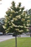 Árvore de Elderflower da baixa do Niagara-em--lago na província de Ontário Fotos de Stock