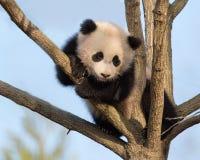 Árvore de escalada da panda do bebê fotos de stock