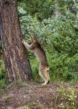 Árvore de escalada do lince Imagens de Stock Royalty Free