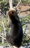 Árvore de escalada do urso Imagens de Stock Royalty Free