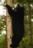 Árvore de escalada do urso preto Imagens de Stock Royalty Free