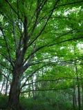Árvore de espalhamento na floresta Imagens de Stock Royalty Free