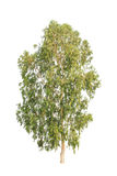 Árvore de eucalipto, árvore tropical isolada no branco fotos de stock royalty free
