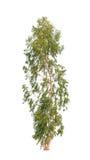 Árvore de eucalipto imagem de stock royalty free