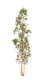 Árvore de eucalipto imagens de stock