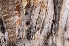 Árvore de eucalipto Fotografia de Stock