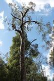 Árvore de eucalipto Fotografia de Stock Royalty Free