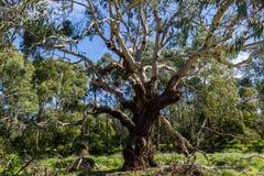 Árvore de eucalipto australiana que olha acima no céu, Philip Island imagens de stock