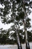 Árvore de eucalipto com neve fotos de stock
