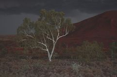 Árvore de eucalipto da goma de Ghost na tempestade na noite Foto de Stock