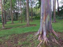 Árvore de eucalipto do arco-íris de Deglupta do eucalipto que cresce na ilha de Kauai em Havaí Fotografia de Stock Royalty Free