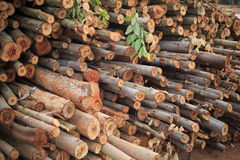 Árvore de eucalipto em plantações da silvicultura Foto de Stock