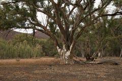 Árvore de eucalipto na zona aberta com gomas de rio no fundo imagens de stock