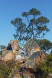 Árvore de eucalipto nativa australiana e rochas grandes Foto de Stock Royalty Free