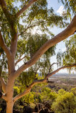 Árvore de eucalipto no interior australiano Foto de Stock
