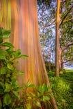 Árvore de eucalipto pintada em Maui Imagem de Stock Royalty Free