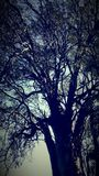 Árvore de Eucaliptus fotos de stock