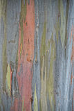Árvore de Eucaliptus do arco-íris em Havaí Fotos de Stock Royalty Free