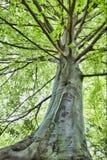 Árvore de faia Fotos de Stock