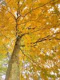 A árvore de faia deixa tornar-se amarela na queda fotografia de stock royalty free