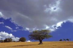 Árvore de faia velha Fotos de Stock Royalty Free