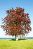 Árvore de faia vermelha Foto de Stock Royalty Free