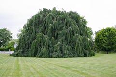 Árvore de faia Weeping imagem de stock