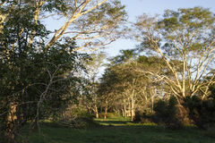 Árvore de febre Forrest imagens de stock royalty free