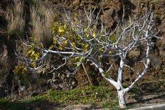 Árvore de figo Fotografia de Stock Royalty Free