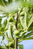 Árvore de figo Foto de Stock Royalty Free