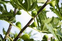 Árvore de figo 2 Imagem de Stock