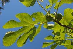 Árvore de figo Fotos de Stock Royalty Free