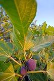 Árvore de figo Fotos de Stock