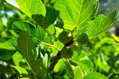 Árvore de figo Imagem de Stock Royalty Free