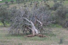 Árvore de figo caída Imagens de Stock