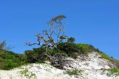 Árvore de figo centenária Imagem de Stock