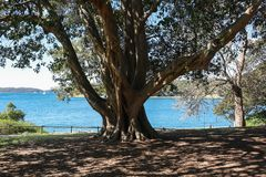 Árvore de figo contra o mar foto de stock royalty free
