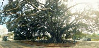 Árvore de figo da baía de Moreton em Santa Barbara Imagem de Stock
