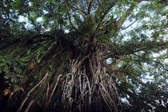 Árvore de figo de estrangulamento de Balete Fotos de Stock Royalty Free