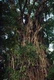 Árvore de figo de estrangulamento de Balete Imagem de Stock