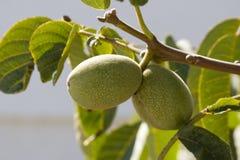 Árvore de figo, Komitata, Kefalonia, setembro 2006 Fotografia de Stock Royalty Free