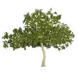 Árvore de figo no verão Imagem de Stock