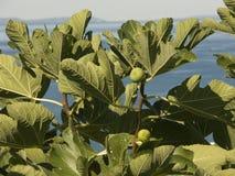 Árvore de figo que cresce na costa do mar de adriático na Croácia Foto de Stock