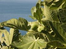Árvore de figo que cresce na costa do mar de adriático na Croácia Imagens de Stock Royalty Free
