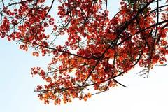 Árvore de flama Imagem de Stock