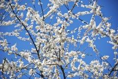 Árvore de florescência fotografia de stock